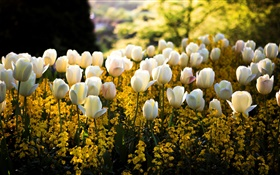 Spring, park, white tulips flowers, yellow, blur, sun rays HD wallpaper