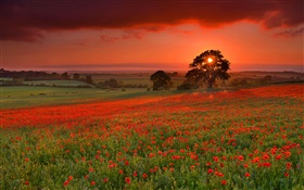 Sunset, hills, tree, meadow, grass, poppies flowers HD wallpaper