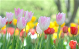 Tulips flowers blooming HD wallpaper