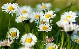White camomile flowers HD wallpaper