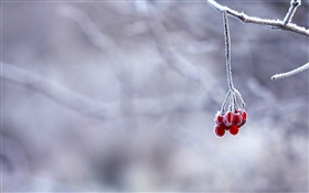 Winter, frost, twigs, red berries, bokeh HD wallpaper