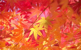 Autumn, branches, red leaves, maple