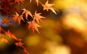 Autumn, yellow leaves, maple, focus, bokeh