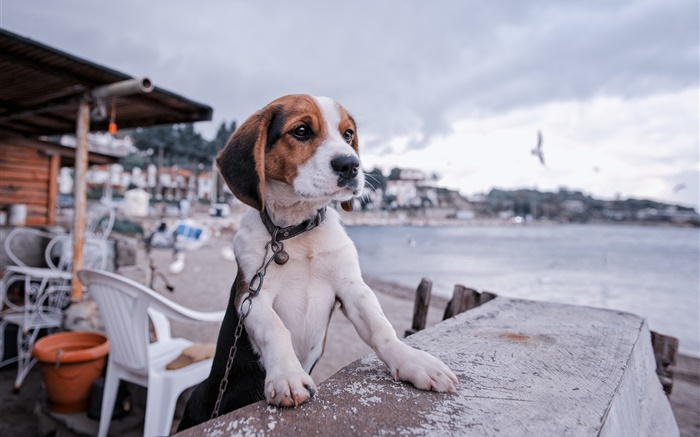 Beagle, dog, promenade, beach Wallpapers Pictures Photos Images