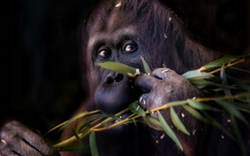 Black orangutan, monkey HD wallpaper