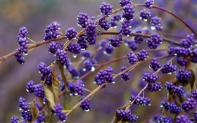 Blue colored berries, twigs, dew HD wallpaper