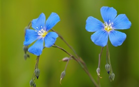 Blue geraniums flowers, bokeh HD wallpaper