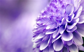 Blue purple flower, chrysanthemum, macro photography HD wallpaper
