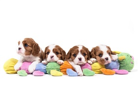 Cavalier King Charles Spaniel, four dogs, puppies HD wallpaper