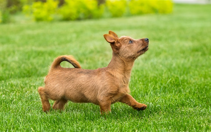 Cute puppy, terrier, lawn, grass Wallpapers Pictures Photos Images