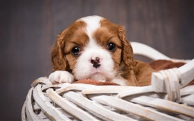 Dog, puppy, basket HD wallpaper