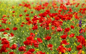 Flowers field, red poppies, daisies HD wallpaper