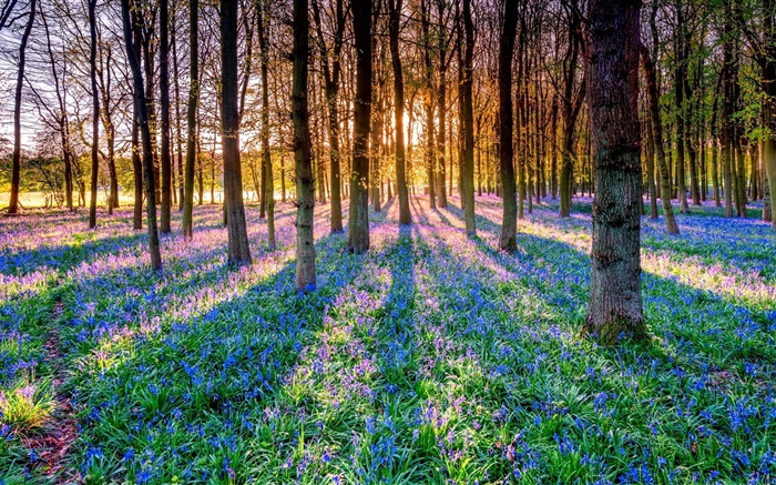 Forest, trees, bluebells, flowers, sun rays Wallpapers Pictures Photos Images