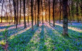Forest, trees, bluebells, flowers, sun rays HD wallpaper