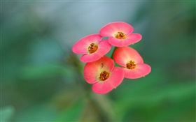 Four pink flowers, blur background HD wallpaper