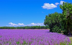 France, lavender flowers, field, trees, blue sky HD wallpaper