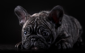 French bulldog, black puppy HD wallpaper