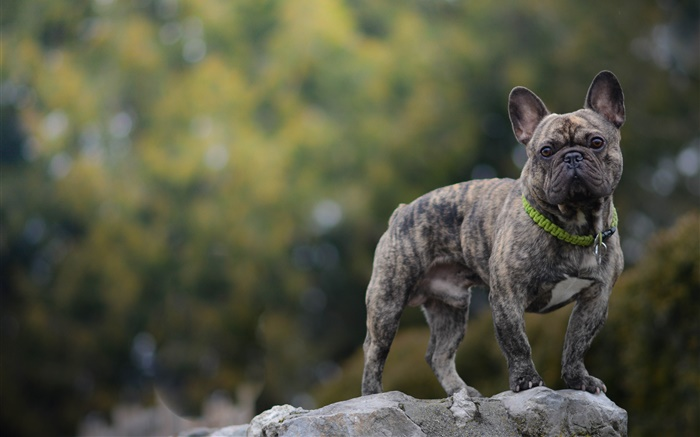 French bulldog, dog, stone Wallpapers Pictures Photos Images