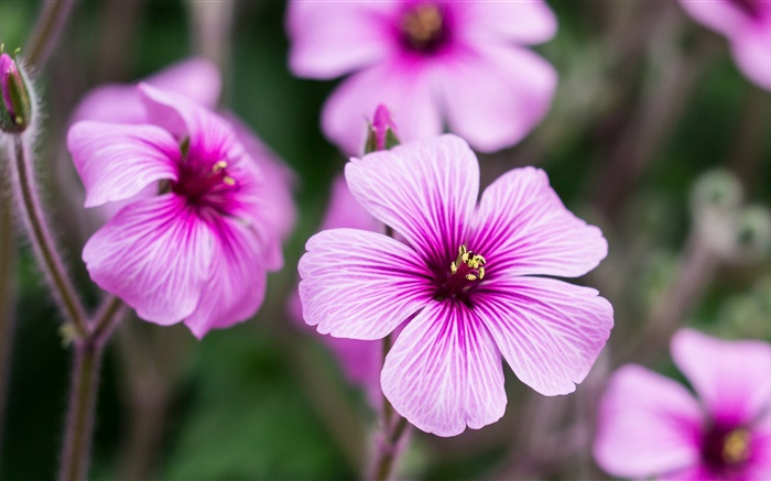 Geraniums, pink flowers, petals, buds Wallpapers Pictures Photos Images