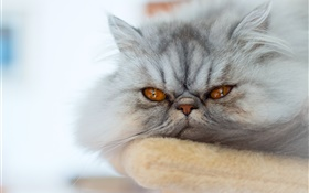 Gray cat, want to sleep HD wallpaper