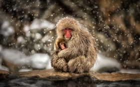 Japanese macaques, monkey, winter, snow, mother and baby HD wallpaper