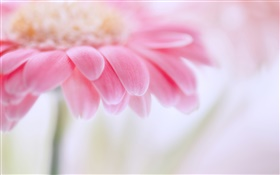 Pink gerbera, flower petals HD wallpaper