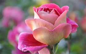 Pink rose, petals, bud HD wallpaper
