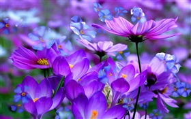 Purple crocus flowers, petals, macro, art ink HD wallpaper