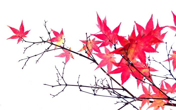 Red maple leaves, twigs, autumn, white background Wallpapers Pictures Photos Images