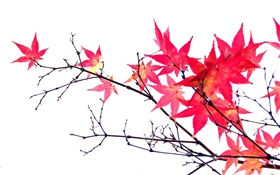 Red maple leaves, twigs, autumn, white background HD wallpaper