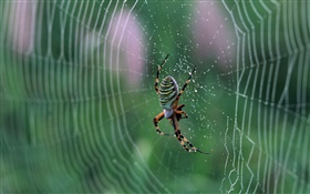 Spider, spider web, drops of water HD wallpaper