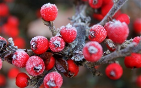 Twigs, red berries, fruits, frost