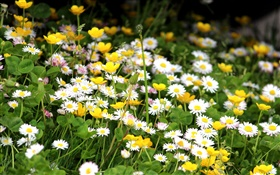 White chrysanthemums, yellow flowers HD wallpaper