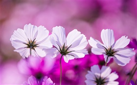 White kosmeya flowers, petals, purple background HD wallpaper