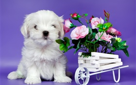 White puppy, pink rose flowers HD wallpaper