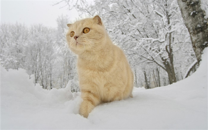 Winter, snow, cat Wallpapers Pictures Photos Images