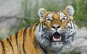 Amur tiger, big cat, eyes, fangs HD wallpaper