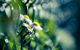 Barbed wire, white wildflowers HD wallpaper