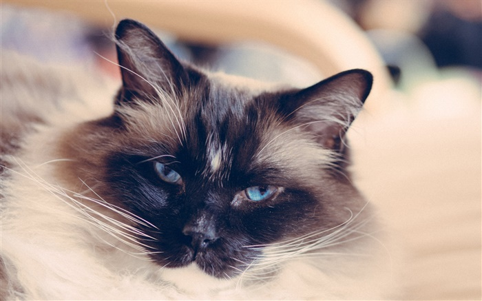 Blue eyes cat face, mustache Wallpapers Pictures Photos Images