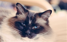 Blue eyes cat face, mustache HD wallpaper