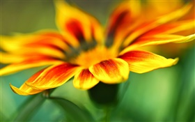 Flower macro photography, yellow orange petals, blur background HD wallpaper