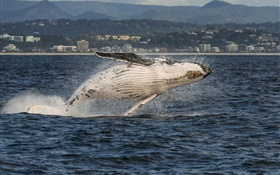 Gold Coast, Queensland, Australia, Coral Sea, humpback whale jump