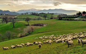 Italy, Campania, hills, grass, trees, sheep, flock HD wallpaper