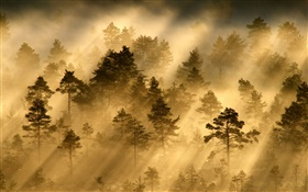Morning, forest, trees, fog, light, sun rays