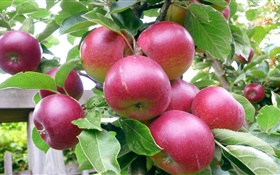 Red apples, tree, green leaves, summer, harvest