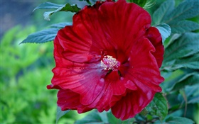 Red hibiscus flower, China rose