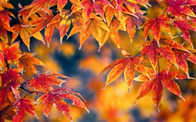 Red maple leaves, autumn, bokeh HD wallpaper