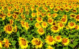 Sunflowers field, summer HD wallpaper