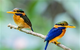 Two birds, kingfisher, branch, bokeh HD wallpaper