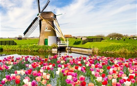 Village, windmill, tulip flowers, river, cow, spring HD wallpaper